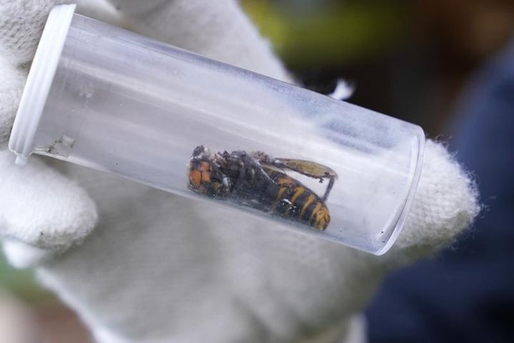 In this Oct. 24, 2020 file photo a Washington State Department of Agriculture worker displays an Asian giant hornet taken fro