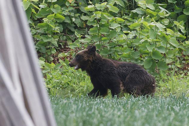 札幌市東区の住宅街に現れて市内を逃げ回ったクマ