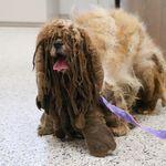 伸び放題の毛をカットしたら、かわいいシーズーが現れた。迷子の犬をアメリカの団体が保護