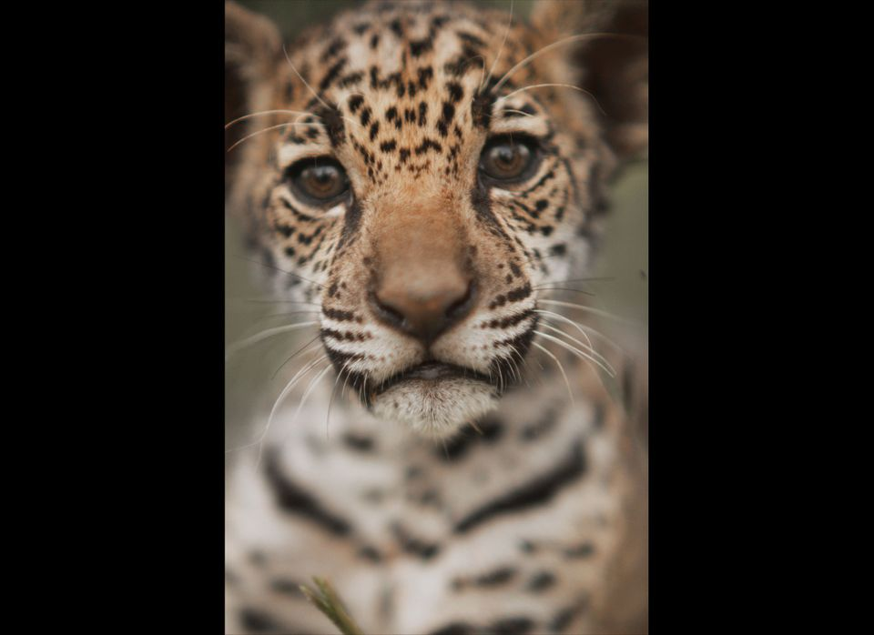 As a class of animals, big cats are amongst the most imperiled, with eighty percent of wild cat species thought to be in decl