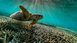 QUEENSLAND, AUSTRALIA - 2019/10/10: A green sea turtle is flourishing among the corals at lady Elliot island.  In the quest to save the Great Barrier Reef, researchers, farmers and business owners are looking for ways to reduce the effects of climate change as experts warn that a third mass bleaching has taken place. (Photo by Jonas Gratzer/LightRocket via Getty Images)