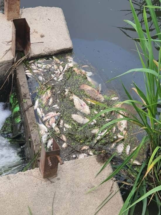 쿠팡 덕평물류센터 화재 진화에 사용된 오염수가 하천으로 흘러들면서 떼죽음한 물고기