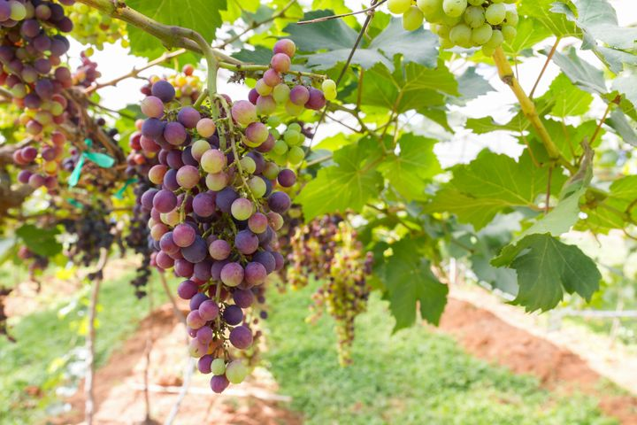 red grapes on the vine in...