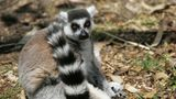 SAN FRANCISCO - MAY 18:  A Ring-tailed Lemur, an endangered animal species, sits in an exhibit at the San Francisco Zoo May 18, 2007 in San Francisco, California. The U.S. celebrates the second annual Endangered Species Day with zoos, aquariums, parks and a host of educational institutions educating the public on how important it is to protect wildlife and the growing number of endangered species, both animals and plant life.  (Photo by Justin Sullivan/Getty Images)