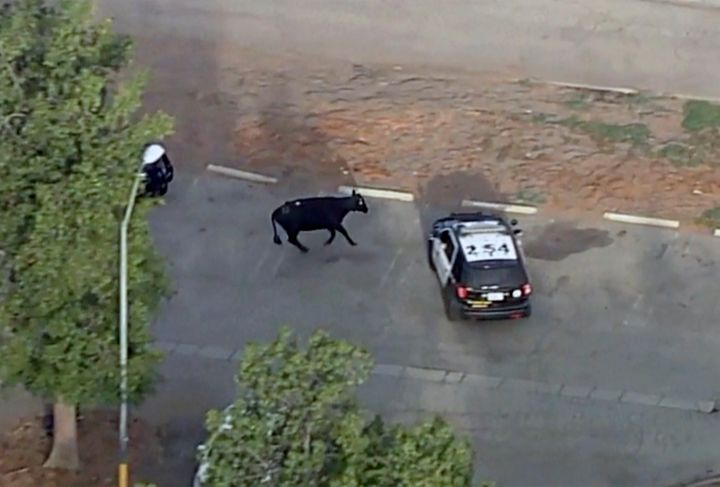 This aerial video still image provided by KABC-7 shows a cow and police car in the Whittier Narrows recreation area in South