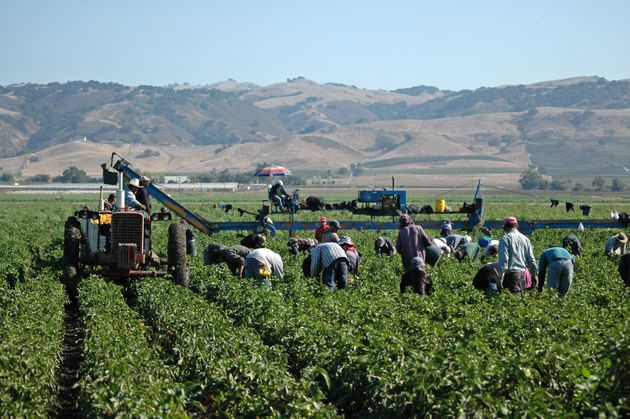 Farm workers harvesting yellow bell peppers near Gilroy, California. Crews like this may include illegal...