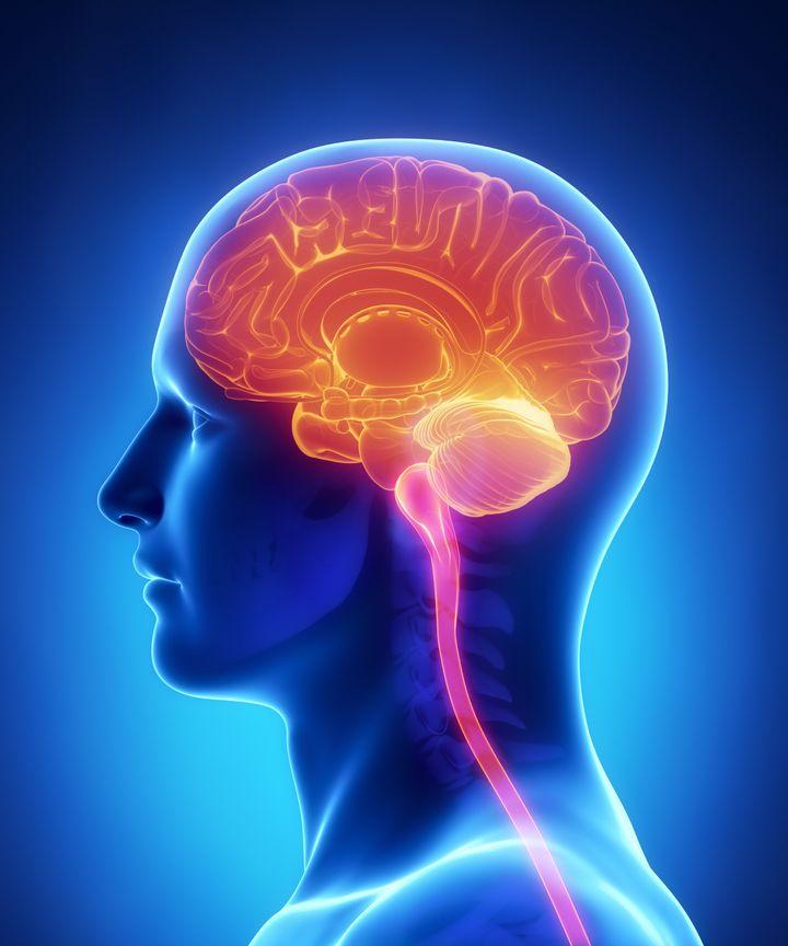 brain anatomy    cross section