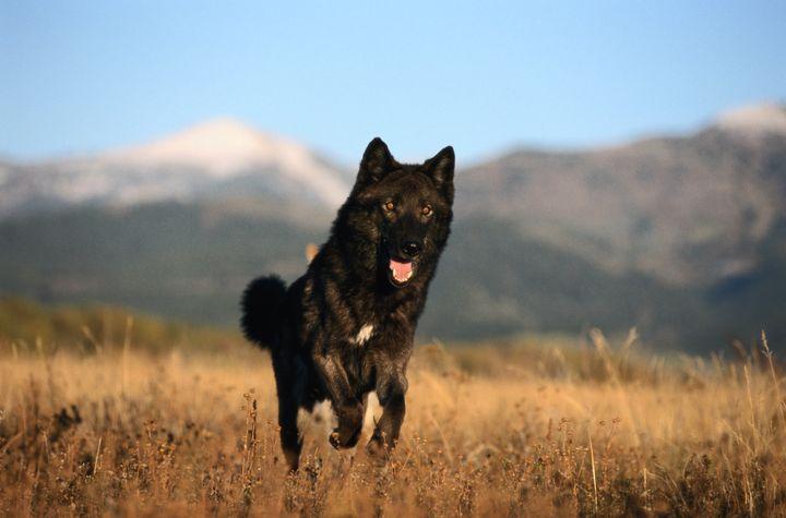 A black color-phase juvenile gray wolf runs through an Idaho field.