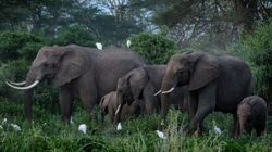 Pourquoi ce troupeau d'éléphants va prendre l'avion pour le