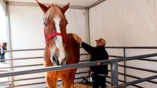 Big Jake, World's Tallest Horse, Dies In Wisconsin At Age 20
