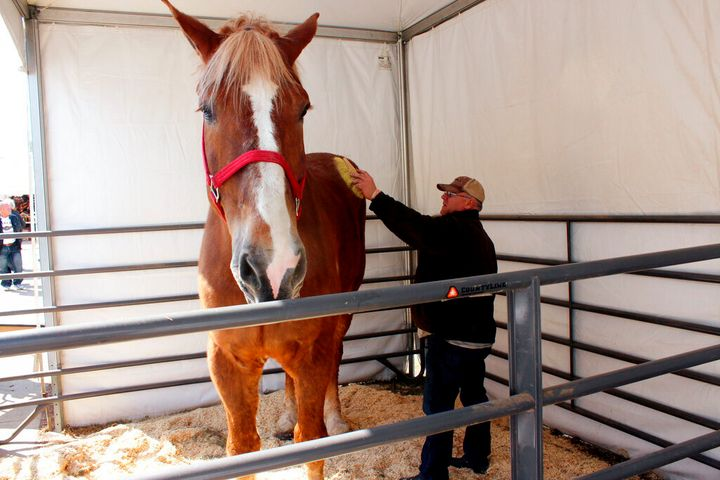 Jerry Gilbert brushes Big Jake at the Midwest Horse Fair in Madison, Wisc., in this Friday, April 11, 2014, file photo. The w