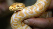 Man Bitten By Neighbor's Escaped Python In Toilet In Austria