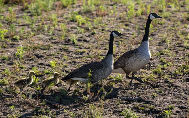 Two Canada geese and their babies head for what water is left at Lake Mendocino as the water level dropped to 29% capacity on June 2, 2021, near Ukiah, California.