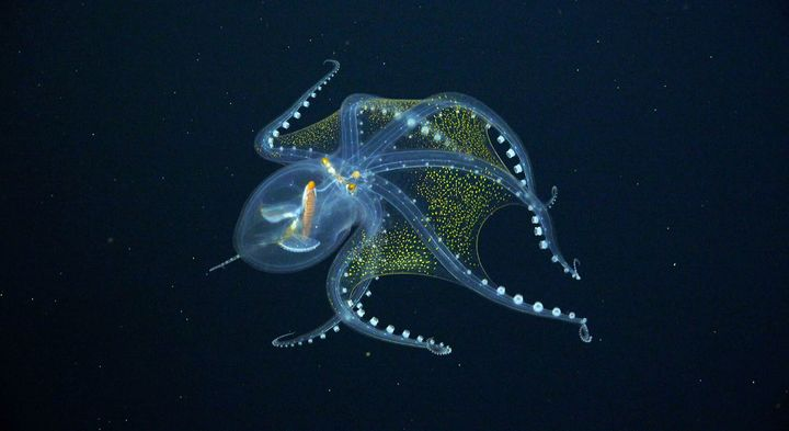 The glass octopus's see-through skin may help the elusive creature hide from both predators and prey.