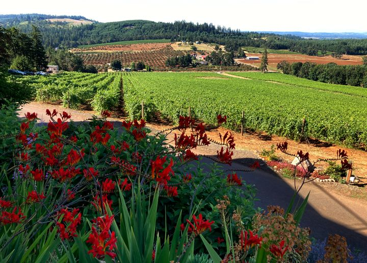 A view of Willamette Valley Vineyards in Turner, Oregon and its rows of pinot noir on Friday, July 9, 2021. (AP Photo/Andrew