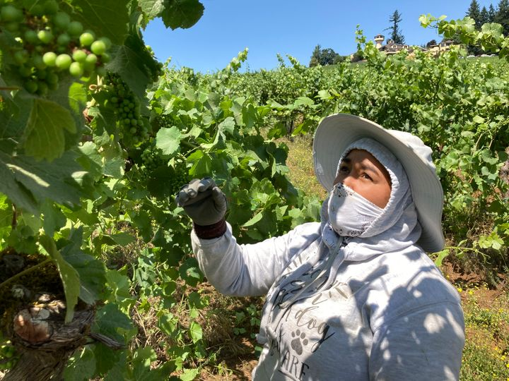 Alejandra Morales Buscio, of Salem, Oregon, reaches up to pull the leaf canopy over pinot noir grapes on Thursday, July 8, 20