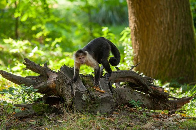 Monkey in the park follow the vegetation. Panamanian white-faced capuchin.