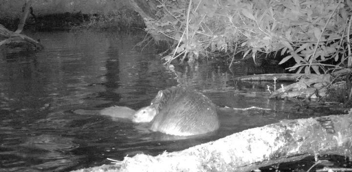 Camera footage has captured shots of the first baby beaver to be born on Exmoor for 400 years.