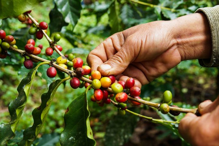 Coffee cherries, seen here, contain two seeds, which we refer to as coffee beans.