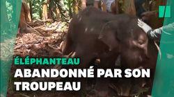 Comment l'éléphanteau blessé, membre du troupeau migrateur chinois, a été