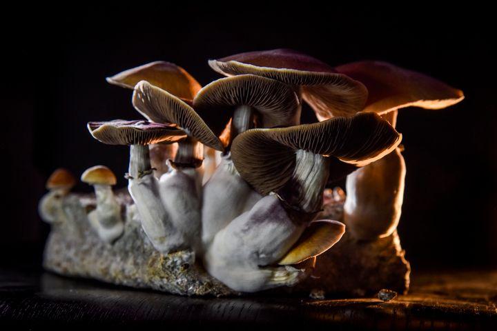Psilocybe cubensis mushrooms growing in Washington, D.C., on Feb. 5, 2020.