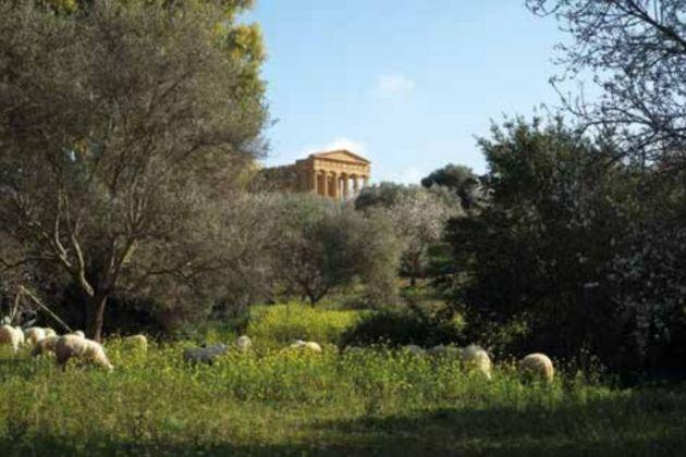 Il bosco di mandorli e olivi nella Valle dei Templi
