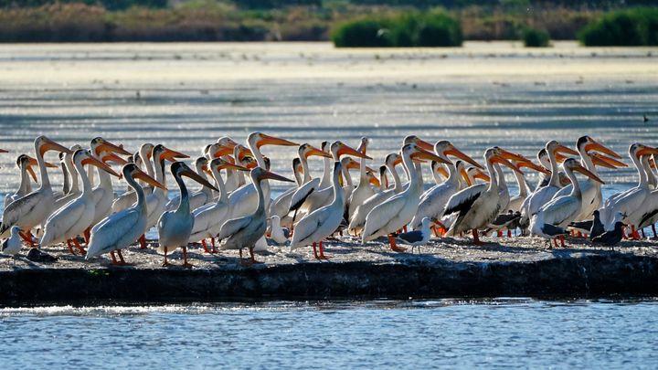 Pelicans gather on an island on Farmington Bay near the Great Salt Lake on June 29, 2021, in Farmington, Utah.