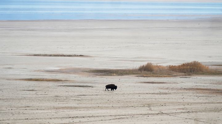 A bison walks along the receding edge of the Great Salt Lake on his way to a watering hole on April 30, 2021, at Antelope Isl