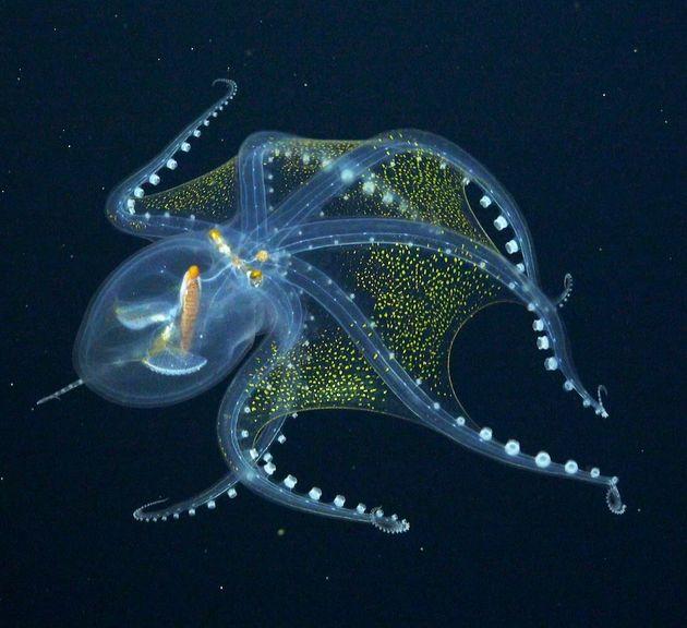 シュミット海洋研究所が撮影した「限りなく透明に近いタコ」