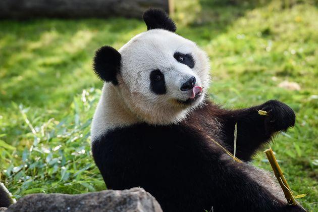Huan Huan au zoo de Beauval à Saint-Aignan-sur-Cherle 1er août