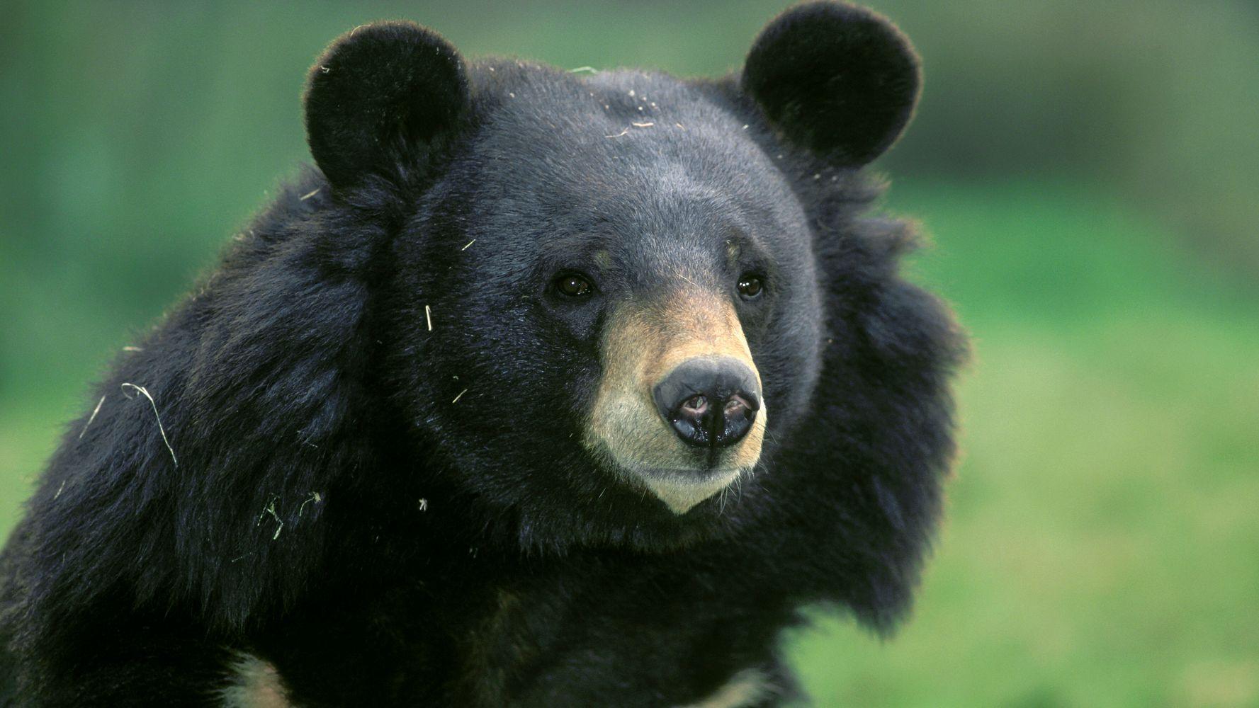 bear inside Olympic softball stadium