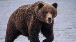 Attaqué puis harcelé par un ours pendant une semaine, il s'en sort