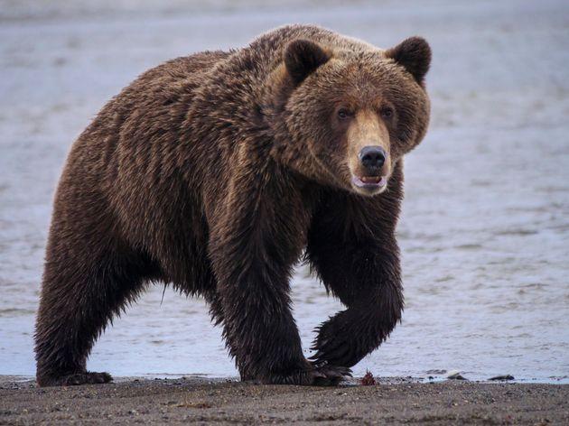 Homme-ours : quatre cas d'agression en 14 ans