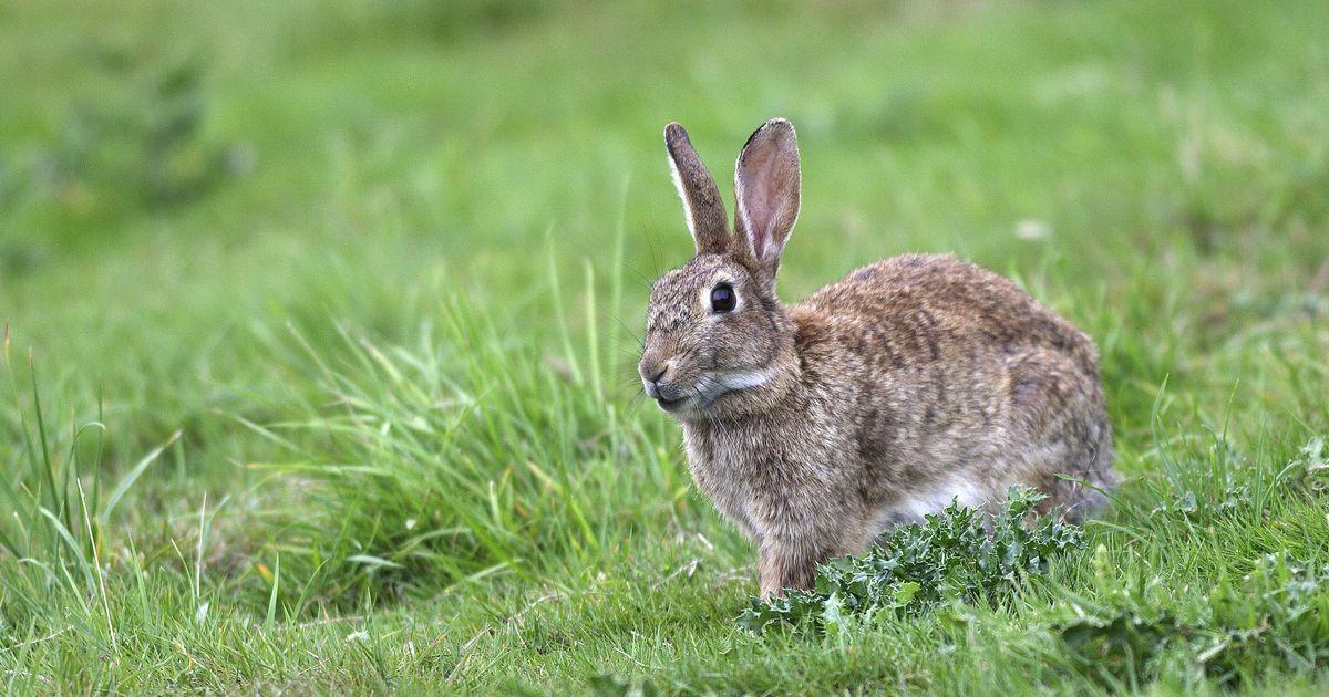 Cette décision de justice offre un répit aux lapins des Invalides à Paris