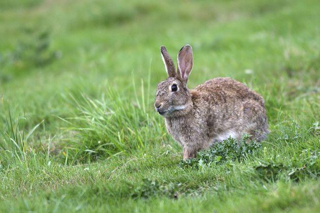 À Paris, dans le VIIe arrondissement, une colonie de lapins de garenne s'est installée sur les pelouses...