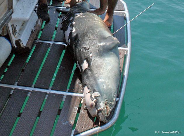 Νεκρός από ψαροντούφεκο ο «Κωστής», η διάσημη φώκια της