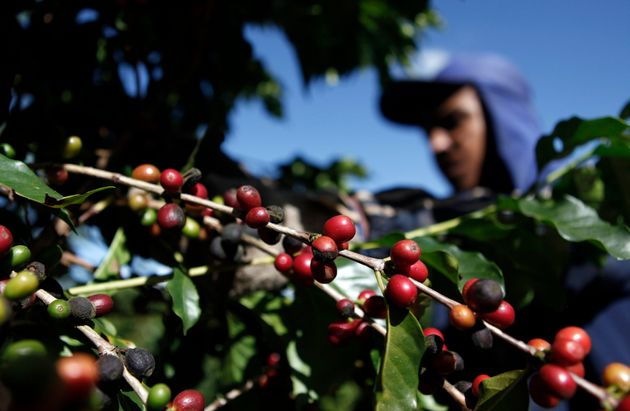 Eργάτης μαζεύει κόκκους καφέ απόμ καφεοδένδρα σε φάρμα του Εσπίριτο Σάντο ντο Πινιιάλ, 200 χλμ ανατολικά του Σάο Πάολο (REUTERS/Nacho Doce (BRAZIL - Tags: AGRICULTURE FOOD BUSINESS EMPLOYMENT ENVIRONMENT)