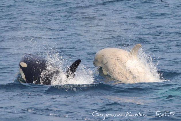 7月24日に撮影された白いシャチ(ゴジラ岩観光のFacebookより)