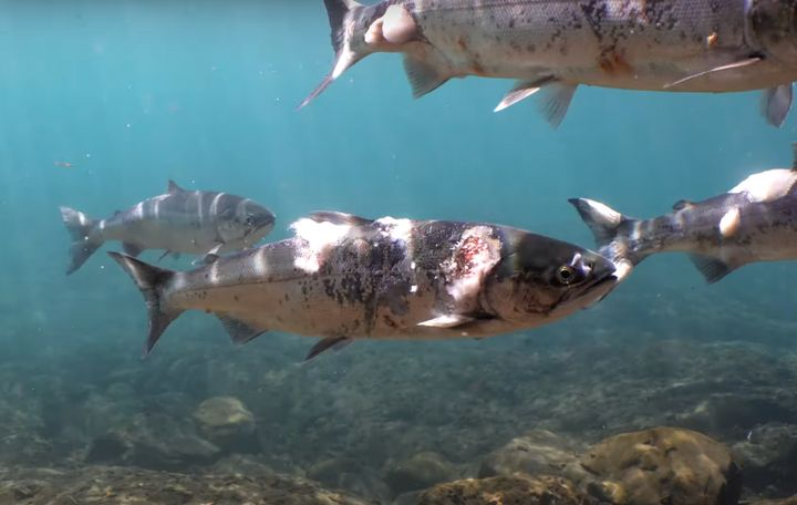 Environmental advocates are blaming unusually warm temperatures this year for salmon deaths and illnesses in the Pacific Northwest. One video shows the physical effects of the heat on sockeye salmon.
