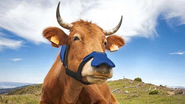 마스크처럼 소의 콧등에 씌운 메탄 흡수 변환