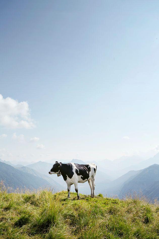 마스크가 소에서 생성되는 메탄 배출량을 최대 53%까지 줄여주는 것으로