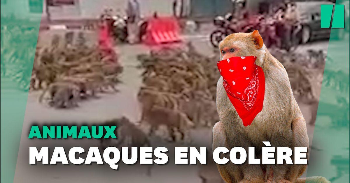 Des gangs de macaques s'affrontent en pleine rue en Thaïlande