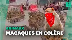 Des gangs de macaques s'affrontent en pleine rue en
