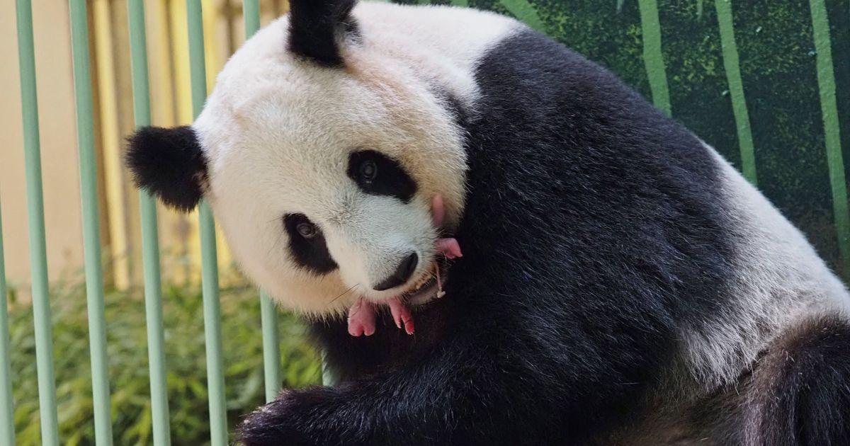 Les jumeaux de la femelle panda du zoo de Beauval sont nés