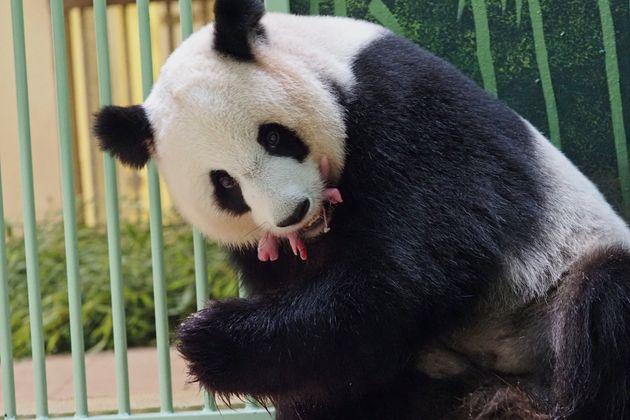 Zoo de Beauval: les jumeaux de la femelle panda Huan Huan sont