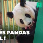 Les jumeaux de la femelle panda du zoo de Beauval sont