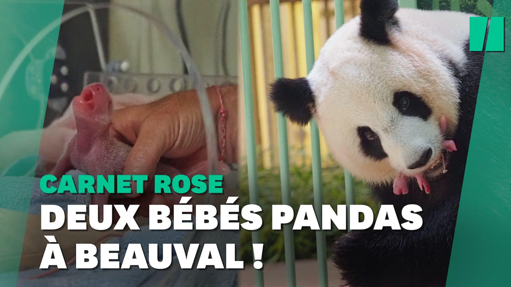 Zoo de Beauval: les jumeaux de la femelle panda Huan Huan sont nés