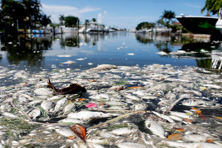The current red tide outbreak has killed hundreds of tons of marine life in Florida.