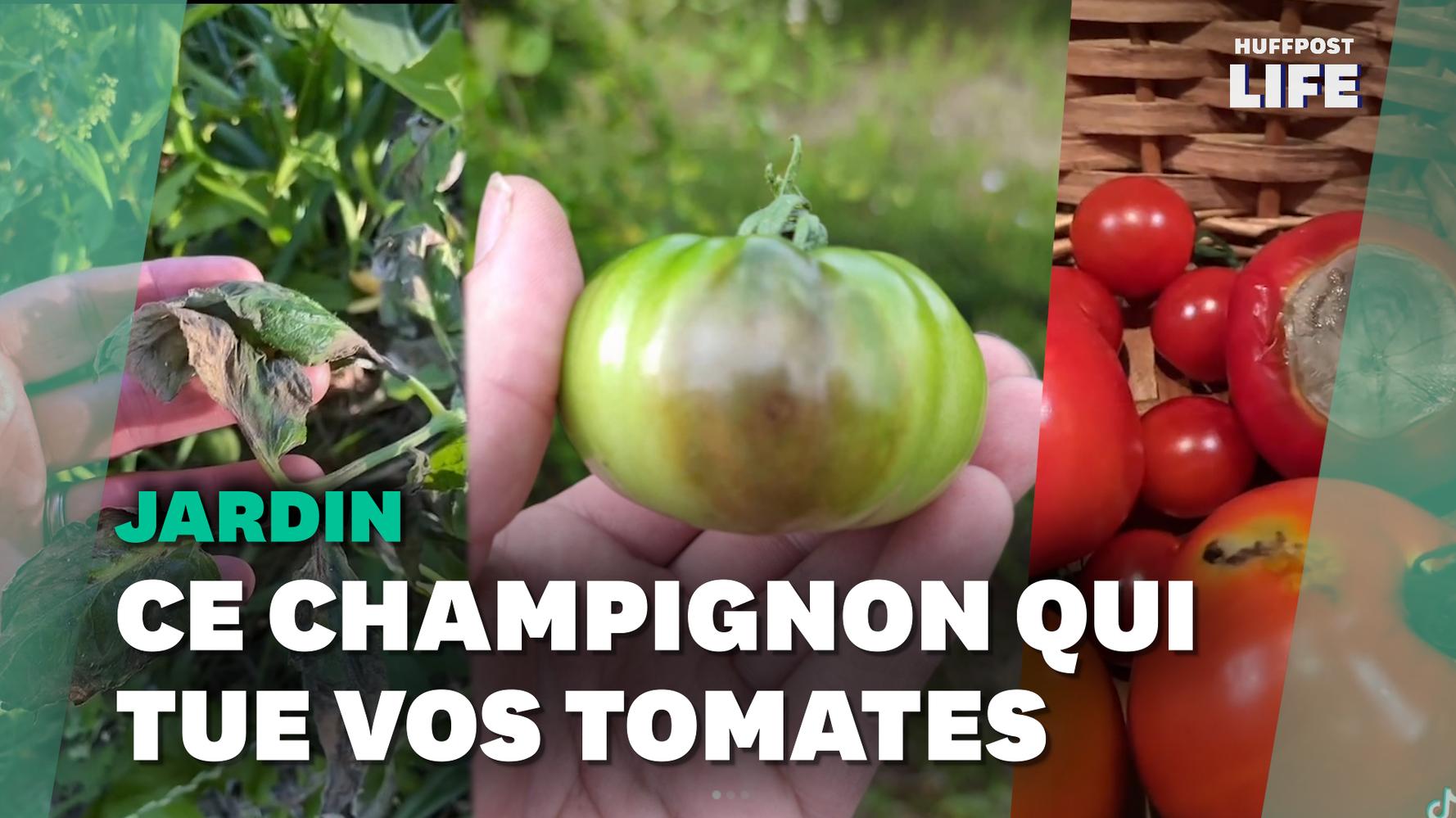 À cause du mildiou, les jardiniers amateurs en ont gros sur la tomate