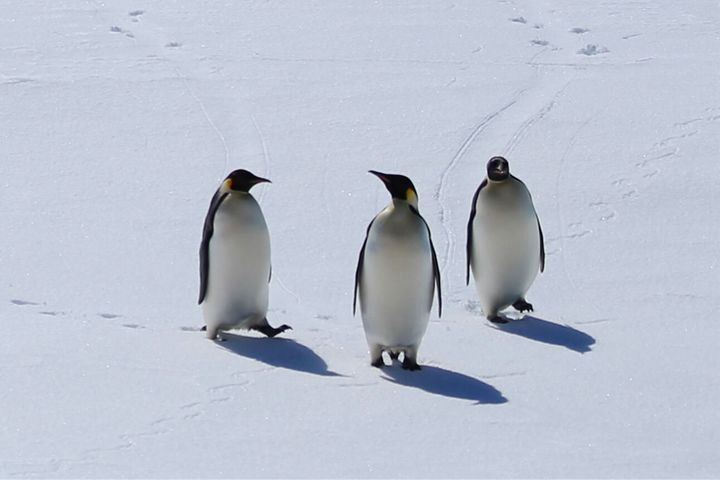 """Emperor penguins are """"in danger of extinction in the foreseeable future in a significant portion of its range,"""" the FWS said."""